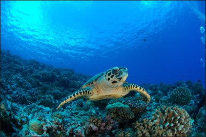 Our most reliable marine animal is the Green Turtle